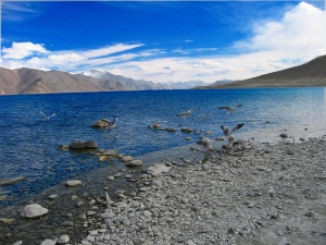 Migratory birds @ Pangong lake..